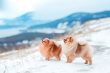 Puppy Spitz In The Mountains I...