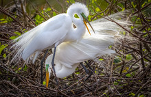 Great Egret Mated Pair In Full Breeding Plumage Doing A Courtship Dance
