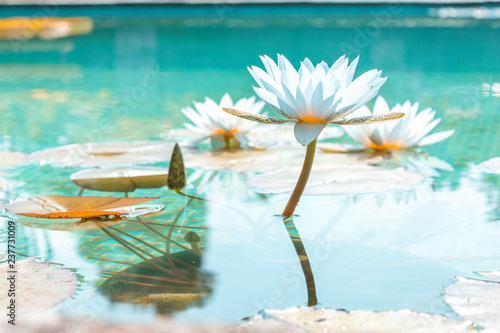 Foto op Aluminium Waterlelies Flower garden lilly water pool