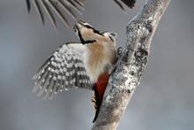 Female Great Spotted Woodpecker Bird