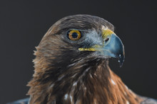 Close Up Of Golden Eagle Bird