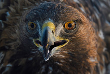 Portrait Of A Golden Eagle Bird