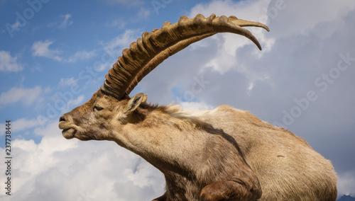 Portrait of an alpine ibex (capra ibex) Fototapet