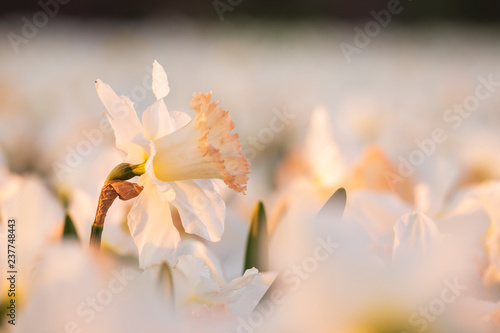 Canvas Prints Narcissus Colorful blooming flower field with white Narcissus or daffodil closeup during sunset.