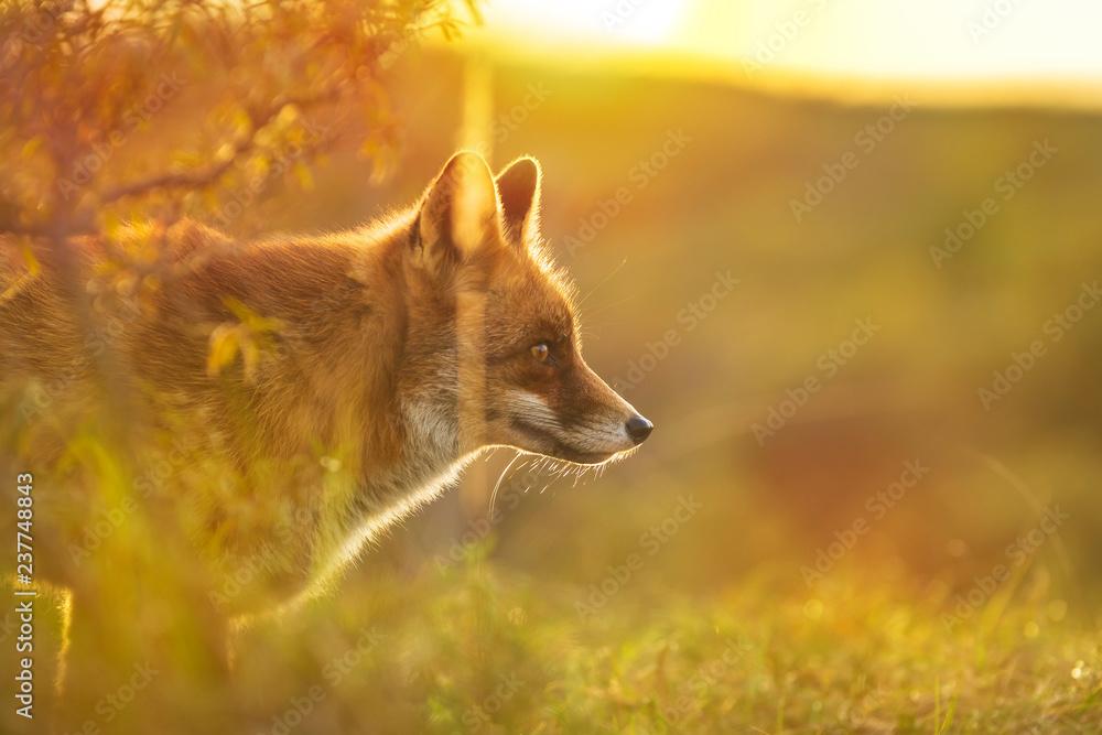 Fototapety, obrazy: Wild red fox Vulpes Vulpes evening sunset