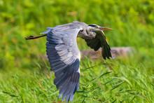 Great Blue Heron Ardea Herodias Flying, Green Surroundings