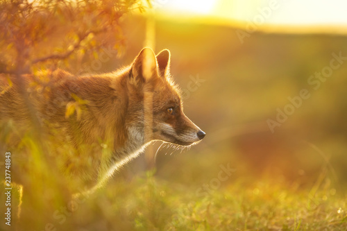 Wild red fox Vulpes Vulpes evening sunset Canvas Print