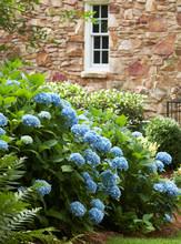 Blue Hydrangeas In Garden