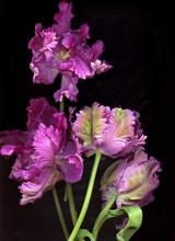 Blooming Flower Of Iris