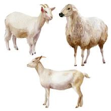 Watercolor Illustration, Set. Farm Animals, Sheep, Goats.