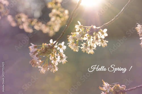 Hello spring card. Branches of a blossoming cherry in the sunlight close up bokeh spring background. Sakura in bloom