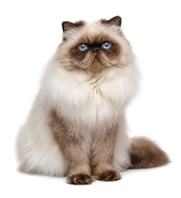Beautiful 1 Year Old Seal Colourpoint Persian Cat
