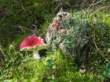 Red Mushroom Russula In The Autumn Forest In The Moss Near The Old Stump