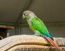 Green Cheeked Parakeet From A ...