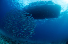 Schooling Chevron Barracuda, S...