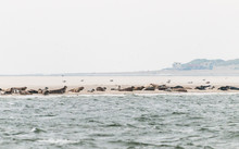 Seals Resting On A Sandbank In The Waddensea In The Netherlands