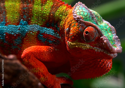 The chameleon of beautiful colors in the forest