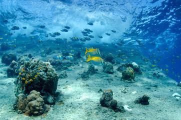 School of Convict Surgeonfish, Acanthurus triostegus