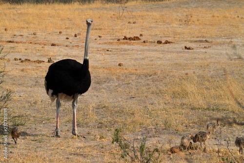 Fototapeta premium Ptasi struś przy pisklęcym wychów w sawannie