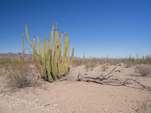 A Dusty Desert Scene With A Large Organ Pipe Cactus (Stenocereus Thurberi) Next To A Fallen Dead Tree Against A Background Of Saguaro Cacti And Clear Blue Sky