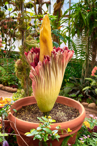 Canvas Print Rare blooming Corpse flower also known as the titan arum at the Tucson Botanical