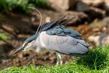 Black-crowned Night Heron With...