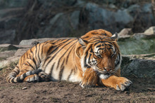 Tiger Sleeping With Head On Crossed Paws. Malayan Tiger (Panthera Tigris) Lying On The Ground With Blurred Stones In Background.