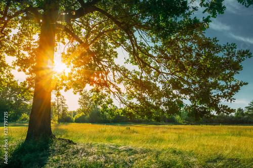 Fotobehang Bomen Beautiful Sunset Sunrise Sun Shining Through Oak Tree Branches