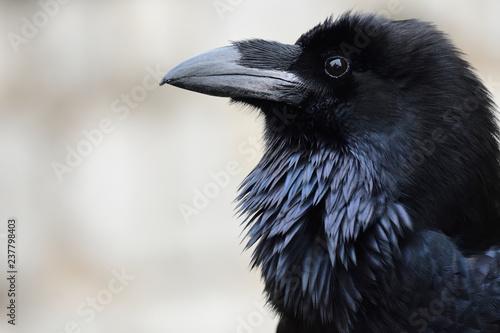 Fotografie, Obraz Head shot of a common raven (corvus corax)