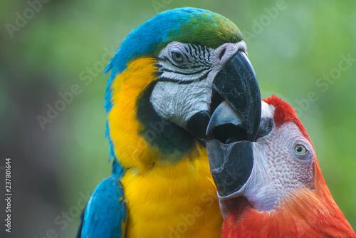 Fotografering  Perroquets mâle et femelle