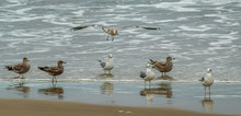 Seven Sea Gulls Looking For Some Action