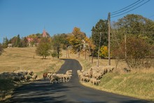 Rural Autumn Landscape, Herd Of Sheep Crossing Road Leading Into A Village, Black And White Border Collie Guarding Them, Green, Yellow, Orange Trees, Electricity Poles, Church Standing On Top Of Hill