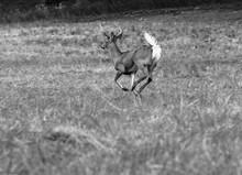 Deer Jumping, White Tail Buck ...