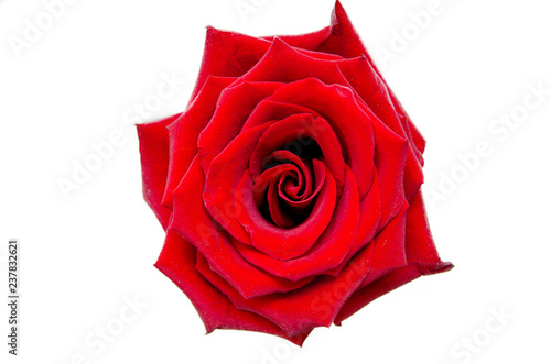 Tuinposter Roses Rose flower isolated on white background