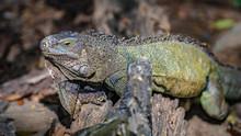 Green Iguana Reptile