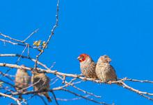 Red-headed Finch ( Amadina Ery...