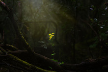 Magical Scene A Lonely Yellow Flower Illuminated By The Sunbeams In Dark Wild Forest.