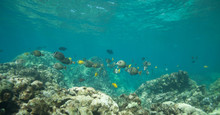 Beautiful Underwater Scene With A School Of Yellow Tangs In Hawaii