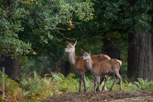 Stunning portrait of red deer hind in colorful Autumn forest landscape