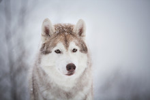 Close-up Portrait Of Beautiful And Free Dog Breed Siberian Husky Sitting In The Fairy Winter Forest On Snowy Background