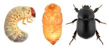 Scarab Beetle (Coleoptera: Sca...