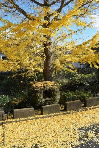 Foto op Canvas Begraafplaats Yellow leaves of the Ginkgo