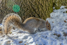 Funny Grey Squirrel Sitting In Snow Cracking Nut