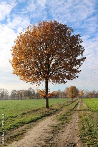 Baum am Weg unter blauem Himmel mit Schäfchenwolken im Herbst