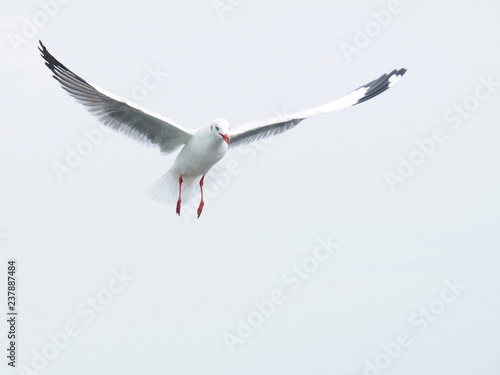 Fotografie, Obraz  Seagulls are flying on a white sky background