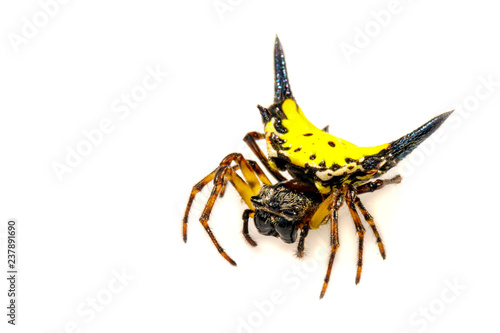 Image of Hasselt's spiny spider (Gasteracantha hasselti) on a white background. Insect. Animal.