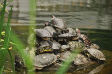 Group Of Turtles Climbing Each...