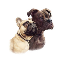 Two Cute French Bulldogs Isola...