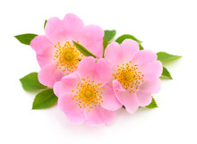 The Flowers Of Wild Rose Isolated.