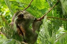 Three Toed Sloth Bradypus Vari...